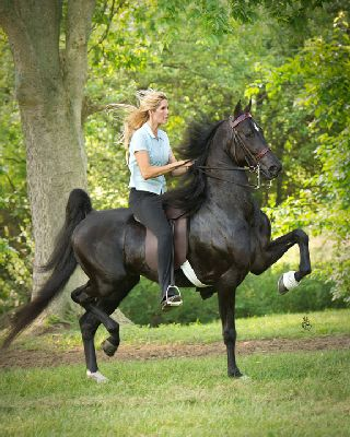 For me, riding a Saddlebred for the first time was amazing. It felt like sitting in a rocking chair; their gaits were so easy for me to sit. I had several during my life time and I never regretted it. was American Saddlebred | ASHA - American Saddlebred Horse Association