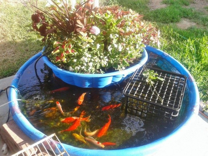 Kiddie pool aquaponics system gardening homesteading 3 for Raising tilapia in a pool