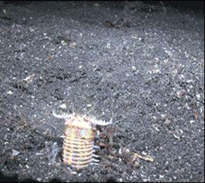 He aquí el tipo de cosas de las que se forman las pesadillas. Este gusano de mar, más concretamente el eunice aphroditois, o gusano bobbit, se mantiene alerta bajo el lecho marino parcialmente cubierto de arena hasta que una presa, en ocasiones mucho más grande que él, pasa por encima. En ese momento, el gusano se lanza hacia arriba y despliega sus pinzas para atraparla. Espantoso. #ciempiés #pez #acuático #ataque http://www.pandabuzz.com/es/scienceporn-del-dia/ataque-gusano-marino