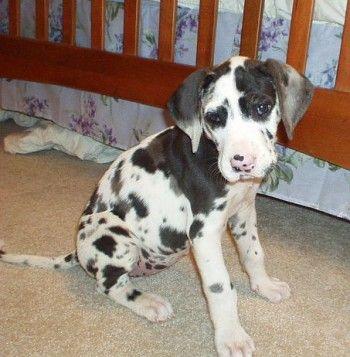 great dane!: Babies, Great Today Puppys, Harlequin Great Danes, Dreams Dogs, Puppys Dogs, Baby Dogs, Animal Pet, Animal Pinterest, Popular Pin