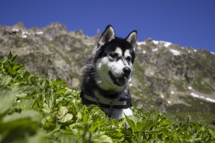 It is believed that the Siberian husky has their origin among a group of Siberian nomads called the Chukchi. The exact history of this dog breed is yet to be documented, but some DNA tests carried …