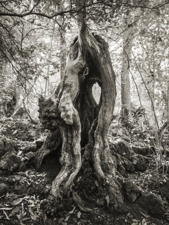 Buy The Died Chestnut, Black & white photograph (C-Type) by Marco Scataglini on Artfinder. Discover thousands of other original paintings, prints, sculptures and photography from independent artists.