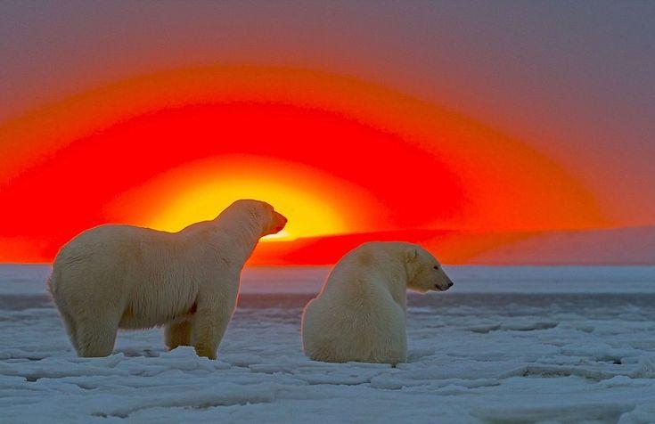 Эти уникальные снимки сделал фотограф Сильвен Кордье в Арктическом национальном заповеднике Кактовик, Аляска. Автор провел в заповеднике 3 дня и теперь мы…