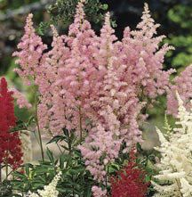11 best garden plants shrubs etc images on pinterest garden amethyst astilbe feathery flower spikes of lavender pink grow 2 to 3 feet tall mightylinksfo