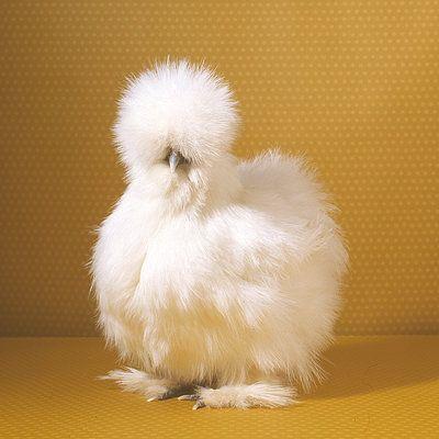 These little fluff balls are so friendly!: Bows Ties, Bantam Chicken, Eggs Eggs, Blog, Championship Chicken, Hair, Birds, Fluffy Chicken, Eggs Brilliant Animal