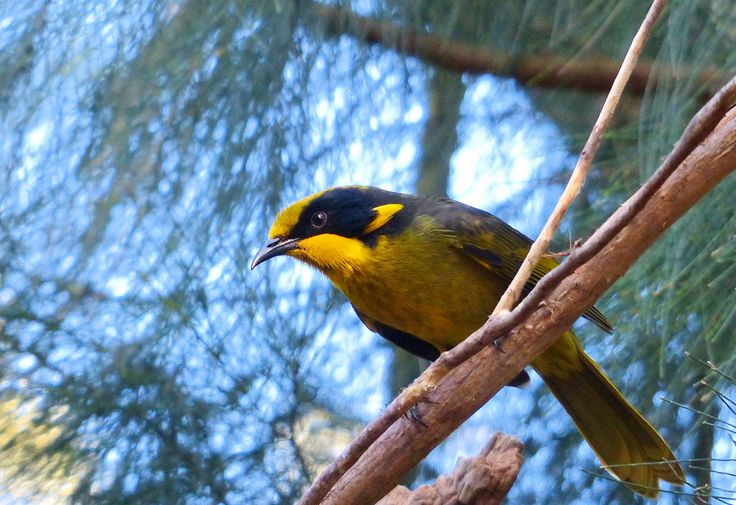 https://flic.kr/p/vbeJJ7 | Helmeted honeyeater | The helmeted honeyeater (Lichenostomus melanops cassidix) is a passerine bird in the honeyeater family. It is a distinctive and critically endangered subspecies of the yellow-tufted honeyeater, that exists in the wild only as a tiny relict population in the Australian state of Victoria, in the Yellingbo Nature Conservation Reserve. It is Victoria's only endemic bird, and was adopted as one of the state's faunal emblems in 1971.