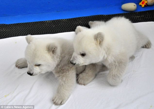 is there anything cuter than baby polar bears?  saving the earth will ensure they grow up and have a chance to have babies too
