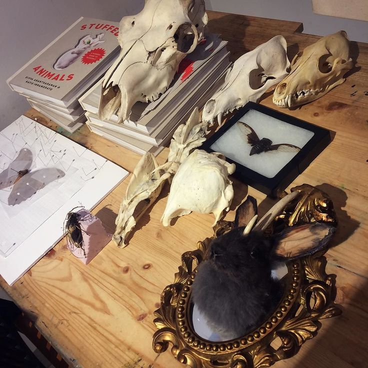 Some specimen in a discreet corner of @torontoetsystreet gallery this morning include assorted #skulls a #cicada a large #moth a large #bettle and a #jackalope ! Evidence of cool events hosted by @nanopodstudio #entomology #taxidermy #naturalhistory #toronto #torontoetsystreetteam