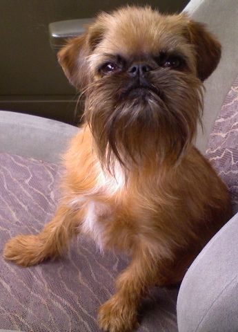 Brussels Griffon, sweet little dogs.