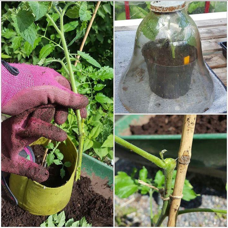 Toppen på tomatplantan gick av när jag skolade om. Men ingen fara: toppen kortade jag lite och klippte bort en del blad ifrån och satte i en kruka med jord vattnade och satte en kupa över. Då kommer den snart få rötter och blir en ny fin tomatplanta. Stjälken på den del som är kvar hade en lite tjyv i bladvecket som nu får vara kvar och växa till en ny topp. #tomat #tomato #odla #trädgård #mygarden #wexthuset #flowers #hage #hemodlat #blommor #minträdgård