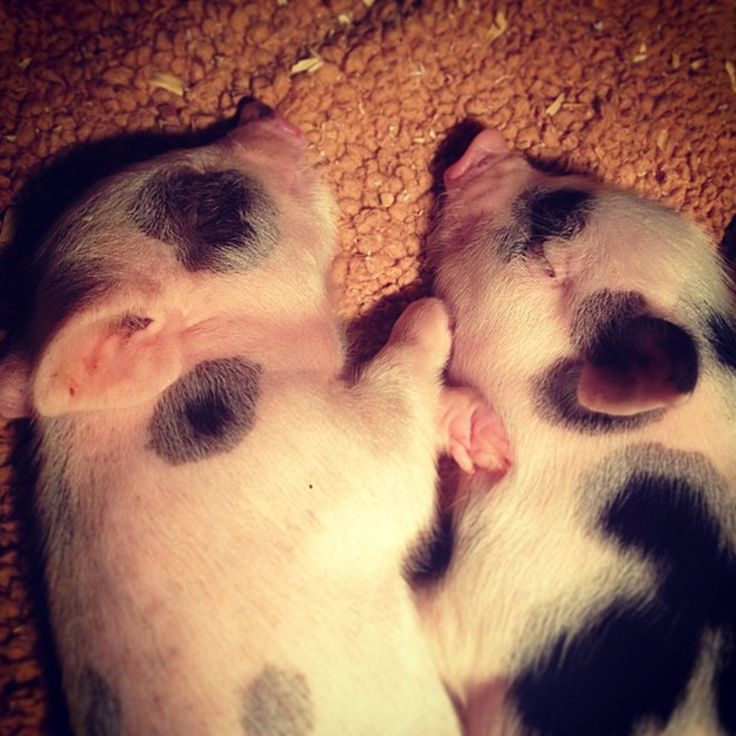 Charming Mini Pigs - Mini Teacup Pigs For Sale, Micro Mini Pigs For Sale, Miniature Pigs For Sale