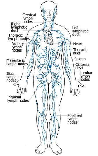 1000 Ideas About Lymph Nodes On Pinterest Nurse