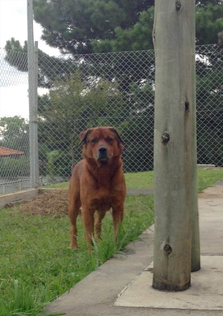 Cão para adoção no Centro de Controle de Zoonoses (CCZ) da Secretaria Municipal da Saúde. Curitiba, 28/04/2015 - Foto: Divulgação - Portal da Prefeitura de Curitiba.