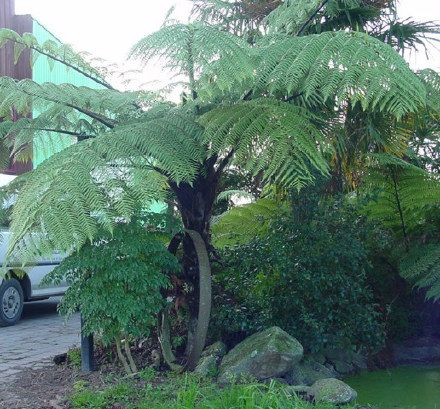 Black Tree Fern)   Fronds New Zealand, Suppliers Of