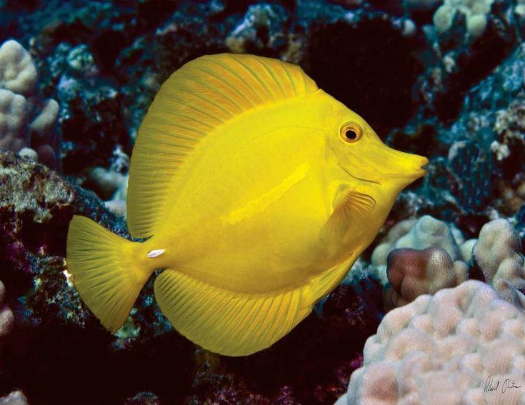 Un pesce chirurgo giallo nelle acque delle Hawaii