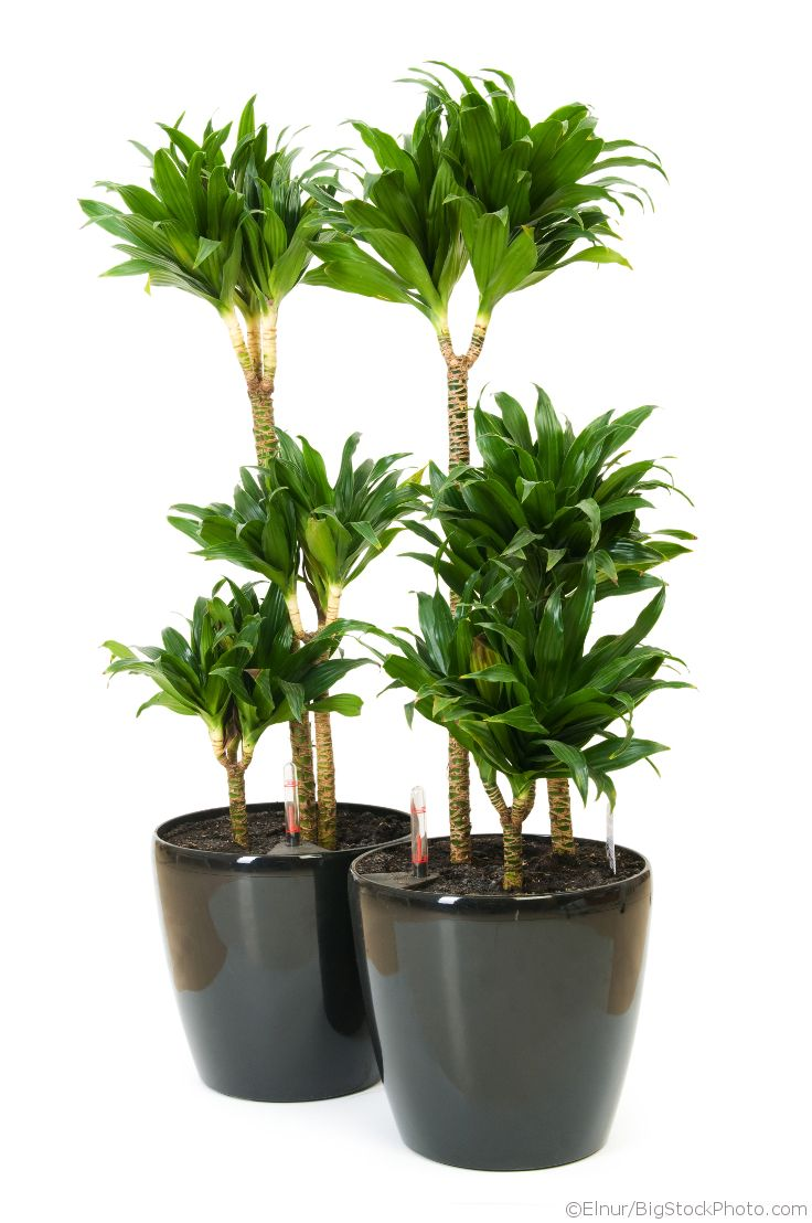 Dracaena Compacta, a stylish, dark green plant that ideally suits modern rooms.