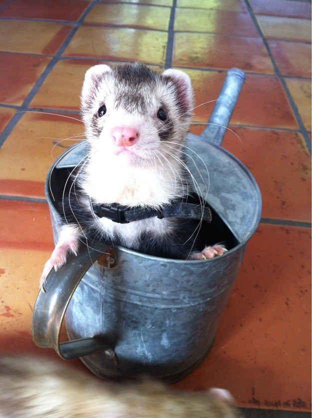 ¡Son útiles en la jardinería! | 19 razones por las que los hurones son las mascotas más adorables