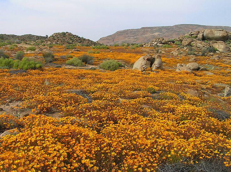 Dimorphotheca sinuata   Nababeep, Namaqualand, South Africa
