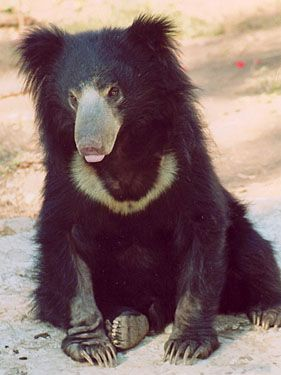 Sloth bear.......GOLLY I HOPE THE FAMILY SURPRISES ME ON MOTHER'S DAY WITH A NEW PAIR OF LEATHER GLOVES.......I JUST HAD MY NAILS DONE AND, WITH MY NEW CHIFFON DRESS, A NEW PAIR OF GLOVES WOULD  TOP OFF MY WHOLE OUTFIT.....YES, I DO BELIEVE THAT WOULD DO IT.......ccp