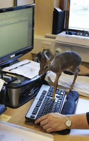 Don't you hate it when your tiny antelope walks across your keyboard