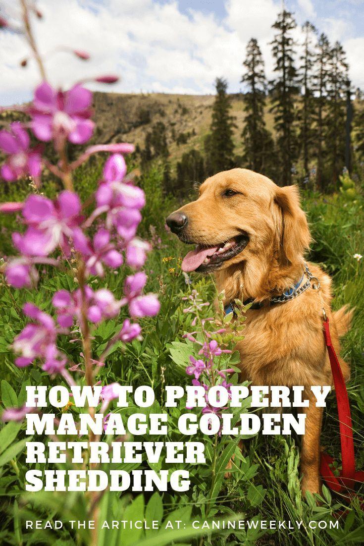 7 Ways To Manage Golden Retriever Shedding Bulldog Breeds