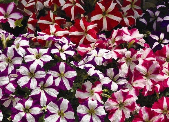 Petunia Stars Mixed #pohlmansnursery #10pots #gardening #australia
