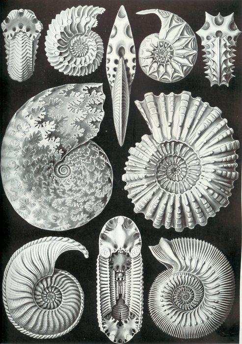 Ammonitida Can't get much better than Hackel's ammonites, in terms of illustration value. There are a few old interpretations of...