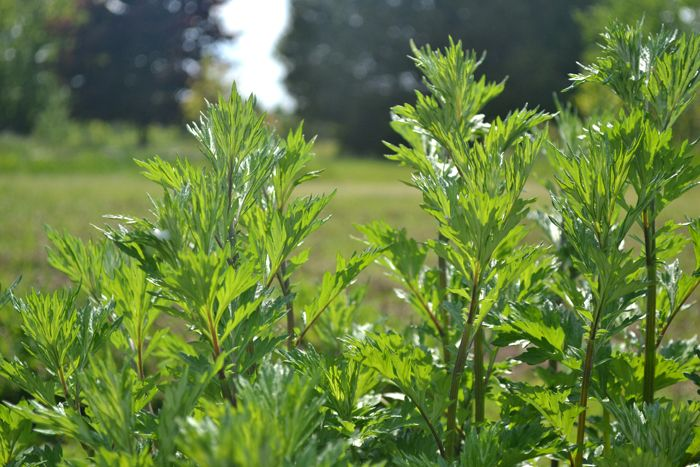 Mugwort (Artemisia vulgaris) is fed to chickens and other poultry to repel lice, and studies have found that its use in the diets of hens increases egg laying.