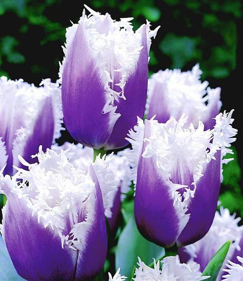 purple frills ATTRACTS: Rabbits (for the bulbs). Plant with Downy Hawthorn Tree which attracts Red Headed Woodpeckers. / Place chicken wire above bulbs under ground to keep rabbits from digging up.  Plant under trees that don't have deep shade.