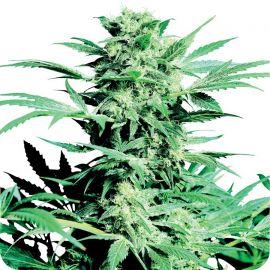 Shiva Skunk - strain - Sensi Seeds   Cannapedia