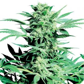 Shiva Skunk - strain - Sensi Seeds | Cannapedia