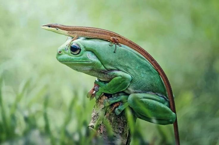 A tree frog wearing a lizard