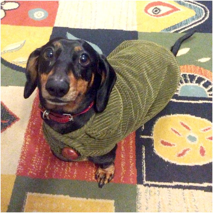 59 Best Simply Spiffing Dachshund Coats Images On