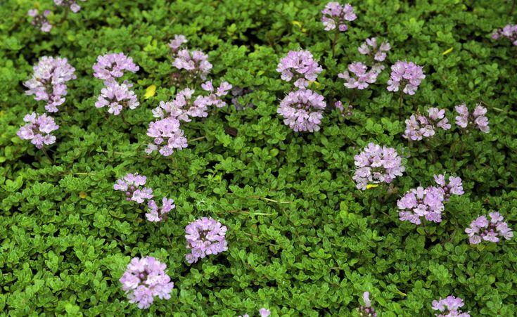 Begehbare Bodendecker Diese Arten sind trittfest   Bodendecker, Sand thymian, Citronella pflanze