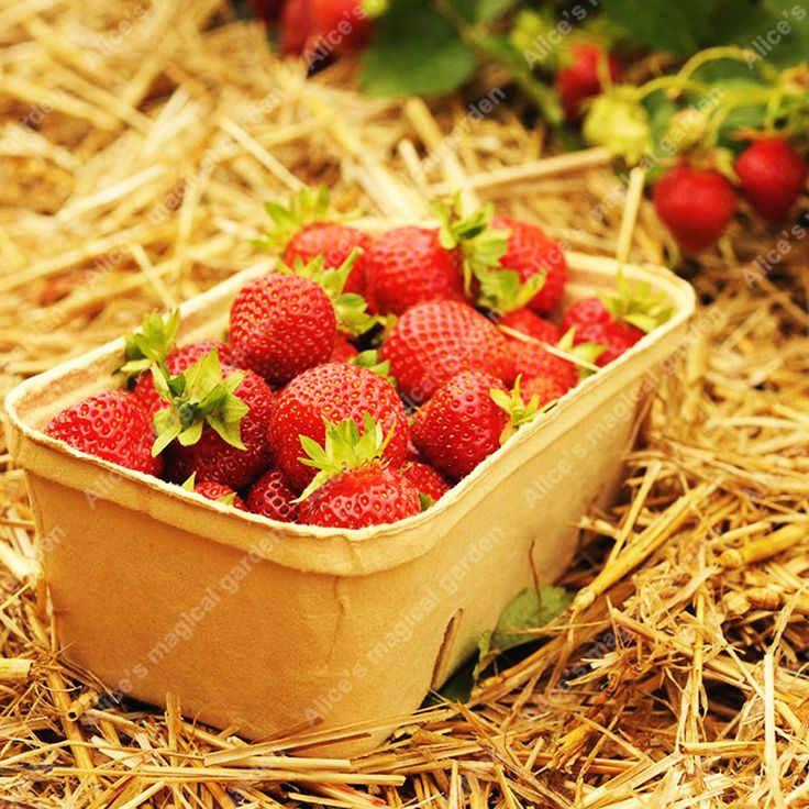 500 pcs strawberry seeds NO-GMO authentic sweet red giant strawberries fruit and vegetable seeds for home garden free shipping
