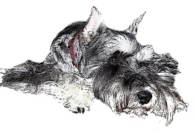 Schnauzer Drawing Easy: 1394 Best Images About Mini Schnauzer Love On Pinterest