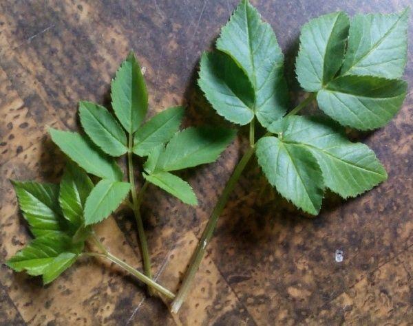 Zevenblad uit de familievan de schermbloemige wordt door menig mens een echte tuinterrorist genoemd.Eenvasteveel voorkomende plant die bijna niet uit te roeien is.Dit Kracht