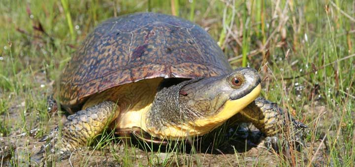 """The Blanding's Turtle pictured here is the star of """"Turtle's New Home"""" by Deborah Costine presented April 3rd-6th at Puppet Showplace Theatre. Did you Blanding's Turtles are considered an endangered species?"""