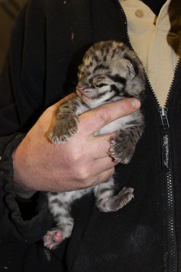 Clouded Leopard Cubs Grow Behind the Scenes at Parken Zoo