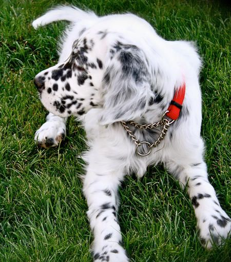 Tango the English Setter. Pretty sure this dog is related to dodger