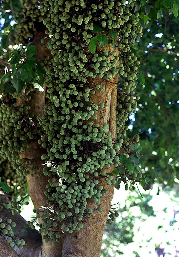 Sycomore tree in the Horsot park,Tel Aviv