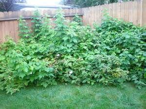 raspberry bushes - Ecosia