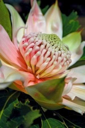 A Passion for Flowers: Spring Beauty: Wonderful Waratah Pink Telopea species australian native flower