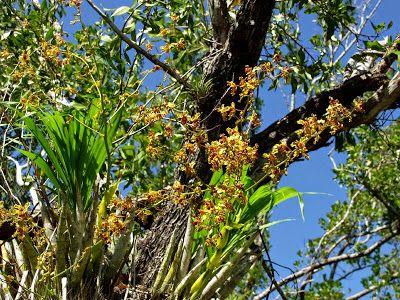 Cultura Guaraní: Orquidea Cyrtopodium punctatum