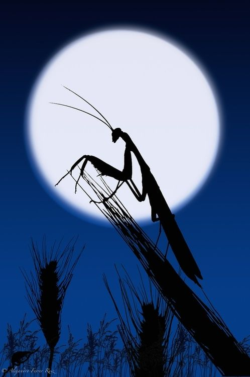 Praying Mantis by moon light.