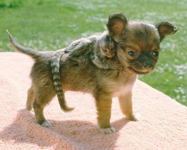 The Chihuahua and His Baby Marmoset | The 21 Most Touching Interspecies Friendships You Never Thought Possible