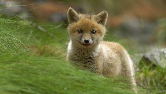 Italy, stop the killing of young Foxes! A TUTTI GLI ITALIANI: fermiamo la strage di cuccioli di volpe a SIENA!!