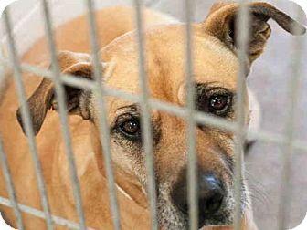 Mesa, AZ - American Pit Bull Terrier/Boxer Mix. Meet BAMBI, a dog for adoption. http://www.adoptapet.com/pet/17874874-mesa-arizona-american-pit-bull-terrier-mix