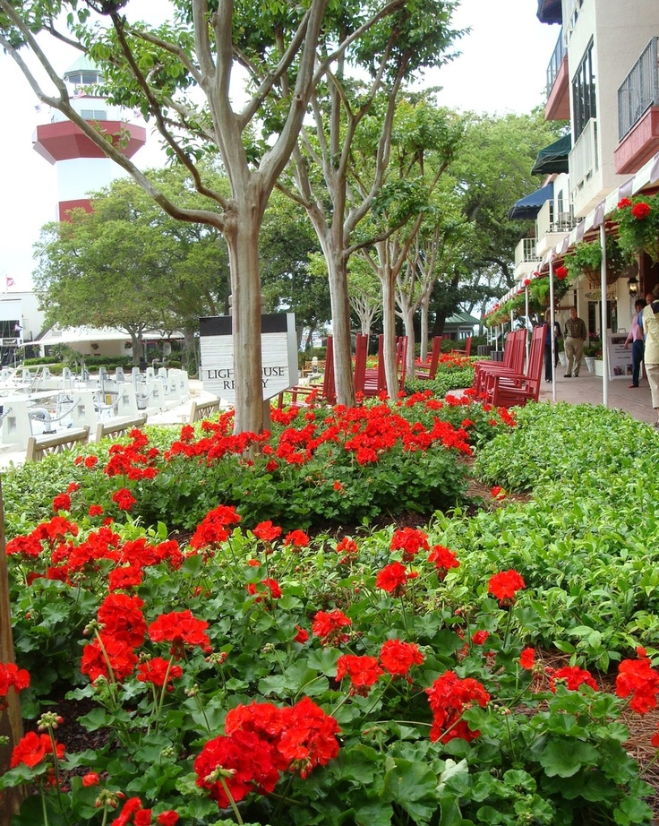 2012 Year Of The Geranium: Usage At Hilton Head SC. Red GeraniumsHilton  Head IslandFlowers GardenSecret ...