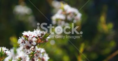 Kanuka (Kunzea ericoides) Tea Tree Royalty Free Stock Photo